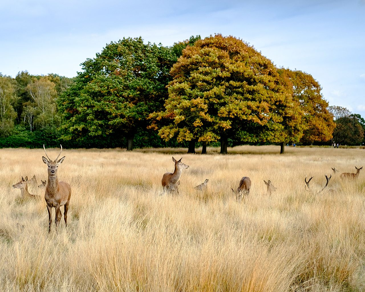 best walks in London, Richmond Park deer
