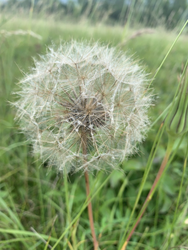 Large dandelion clock