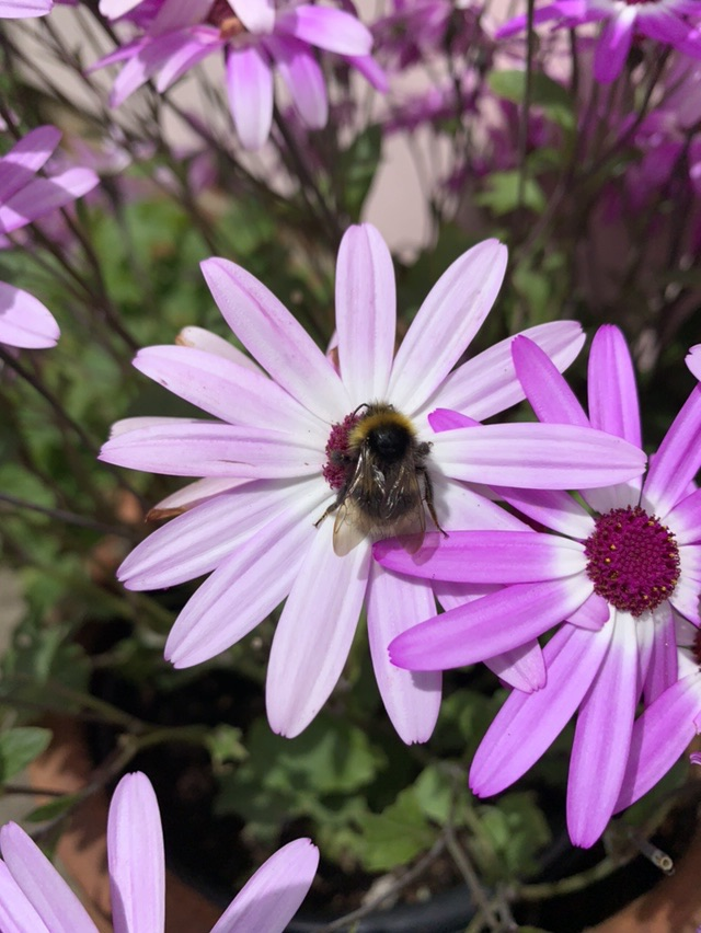 Garden wildlife, bumblebee on flower