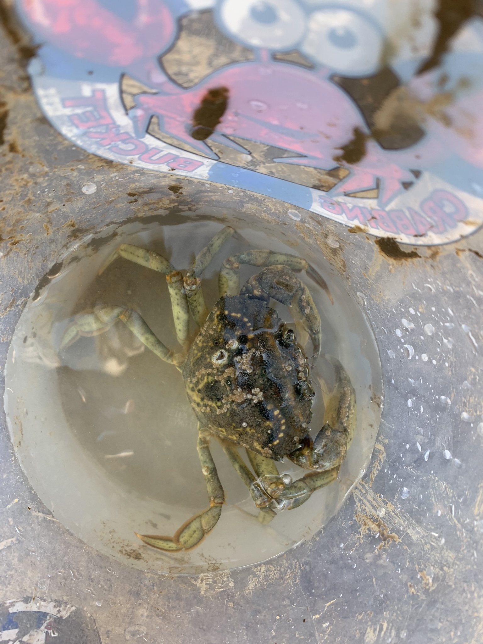 Crabbing in Walberswick, crab in a bucket